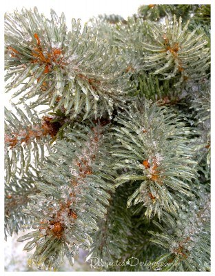 evergreen-covered-in-ice