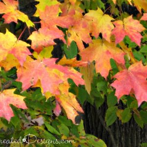 red and yellow maple leaves in Onatario, Canada