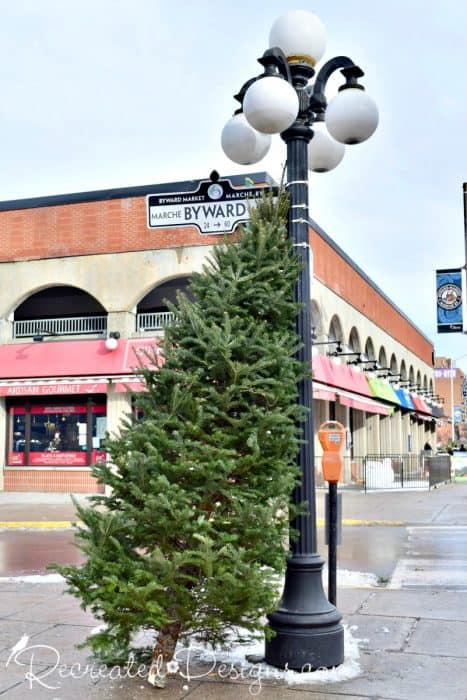 x-large Christmas tree leaning against light pole in Byward Market Ottawa, Ontario