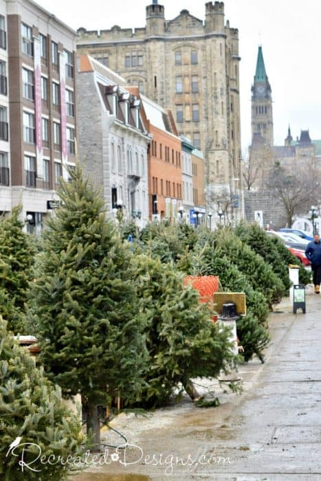 Christmas trees with Parliament Peace Tower in the background, Ottawa, Canada