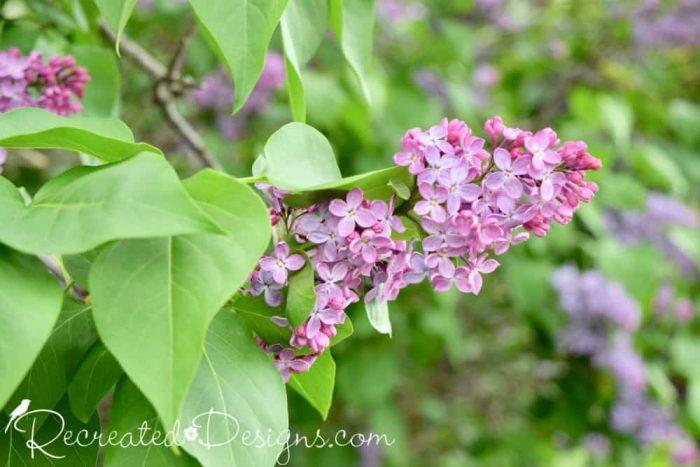 pink hued lilac blooms in Spring
