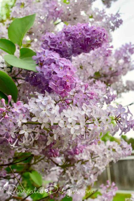 beautiful multi-coloured lilacs