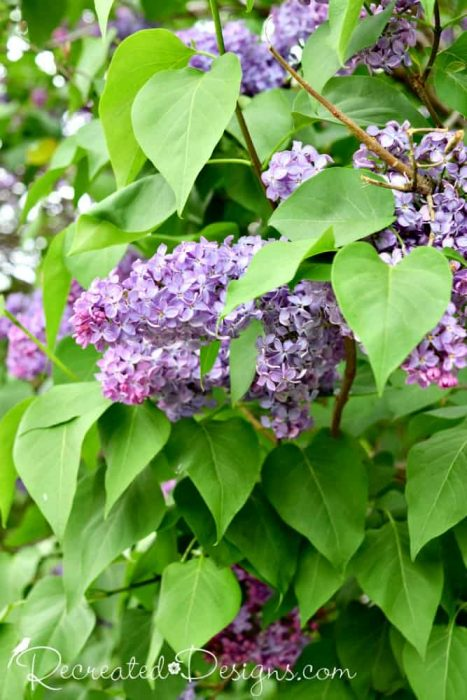 lilacs and amazing green leaves