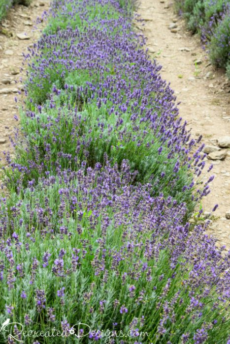 a row of Lavender