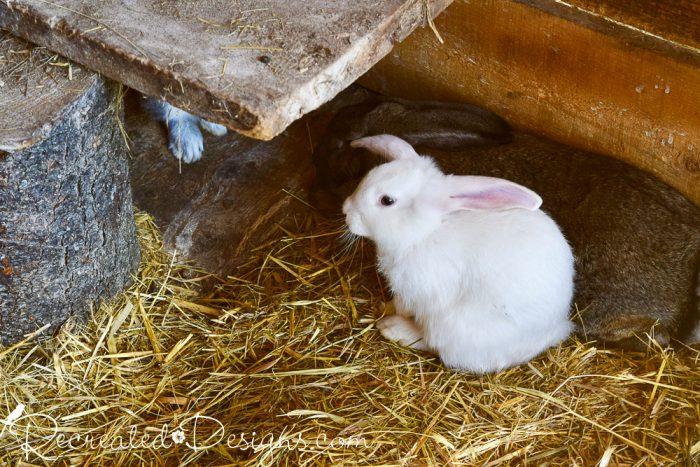 cutest little farm bunny