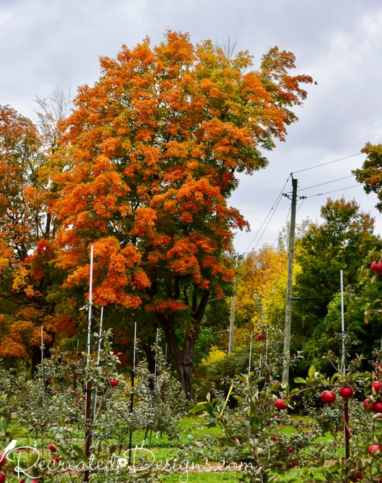 beautiful fall tree at the apple orchard