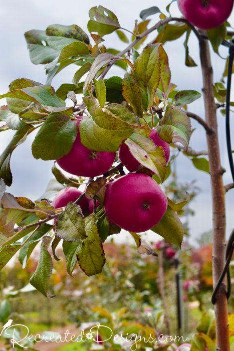 apples on an apple tree