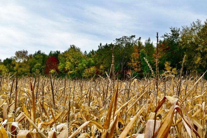 corn stalks with fall trees