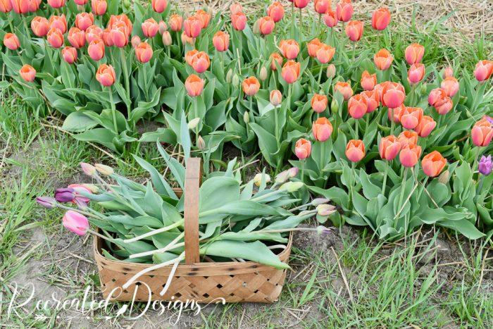 vintage basket full of tulips
