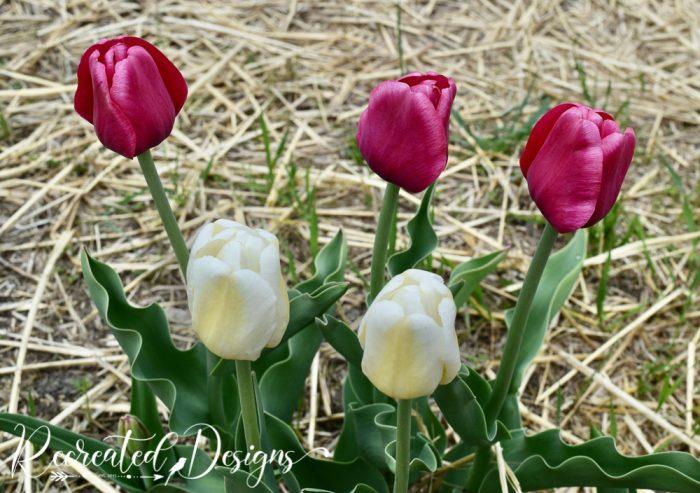 deep pink and white tuplips