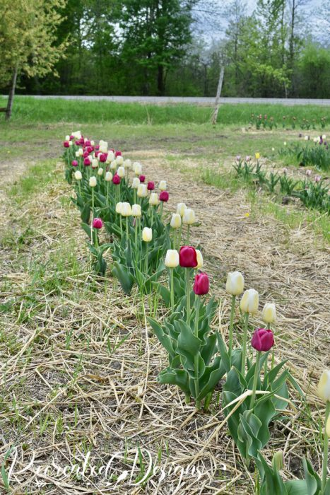 row of tulips in a field